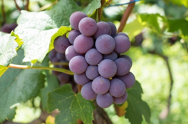 How to Make Wine From Grapes