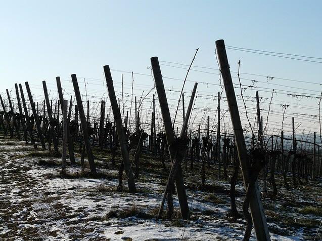 Grape Vine Trellis – How To Do It