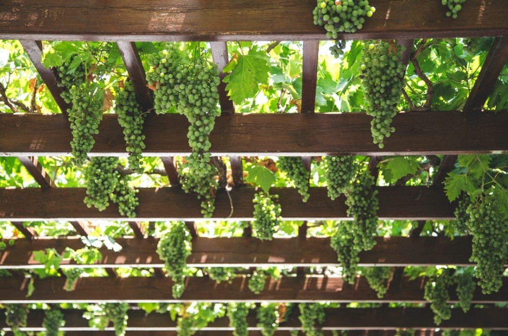how to grow grape vines