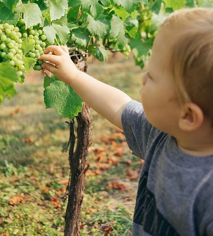 Grape Harvesting Time