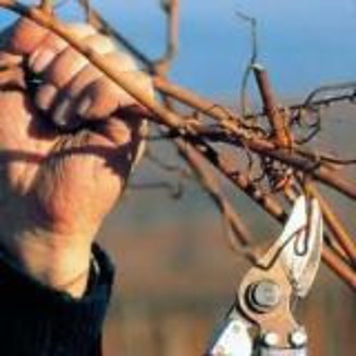 When to Prune Grape Vines?
