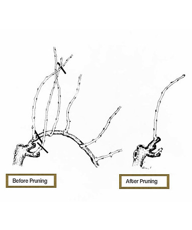 This picture shows how to how to prune grape vines.
