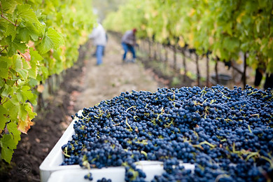 Are You Ready for the Grape Harvest?