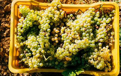 Sparkling Wine Making Process