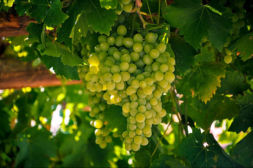 Chardonnay is among white grape varieties for the Sparkling wine.