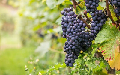 Main Grape Varieties for Sparkling Wine