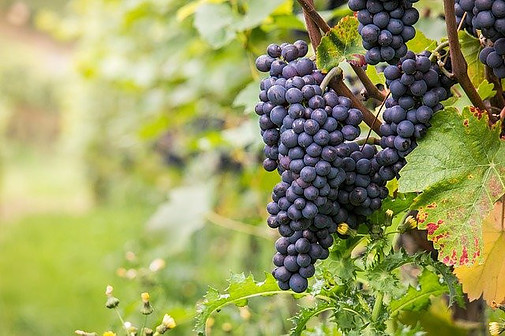 Pinot noir is among the main red grape varieties for Sparkling wine.