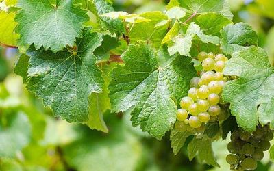 The Best German wine